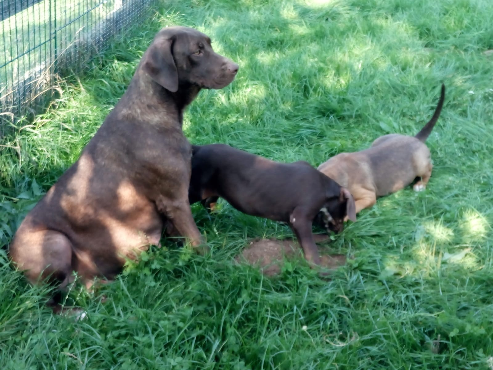 Louisiana Catahoula Leopard Dog Welpen mit Pap.
