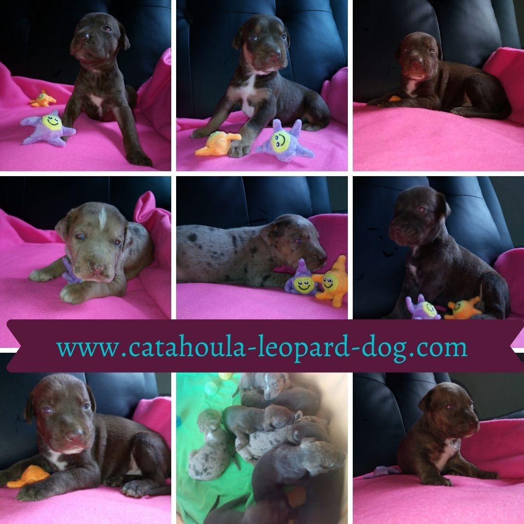 Louisiana Catahoula Leopard Dog Welpen mit Papiere