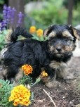 Yorkshire Terrier - Rude-
