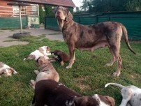 Louisiana Catahoula Leopard Dog welpen