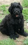 Black Russian Terrier-Welpen