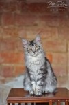 Traumhafte Maine Coon ns22