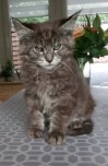 XL Maine Coon