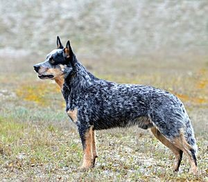 Rasseportrait Australian Cattle Dog